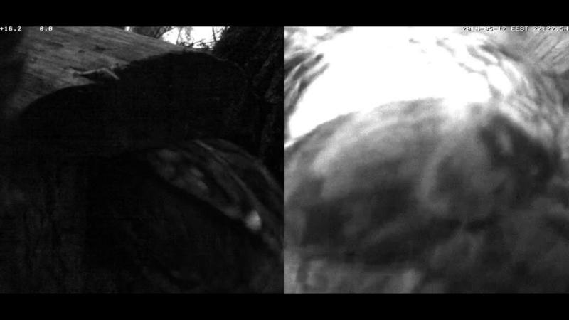 Estonian Tawny Owl Webcam 2014 Cghdde11