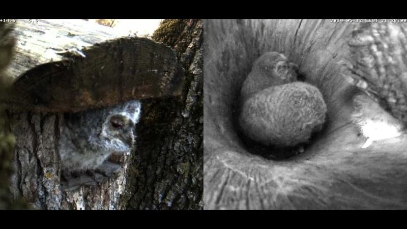 Estonian Tawny Owl Webcam 2014 Cgheee13