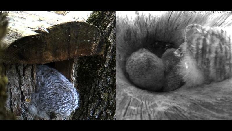 Estonian Tawny Owl Webcam 2014 Cgheef10