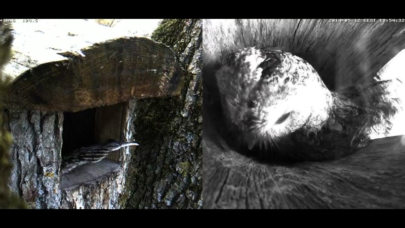 Estonian Tawny Owl Webcam 2014 Cghfgg10