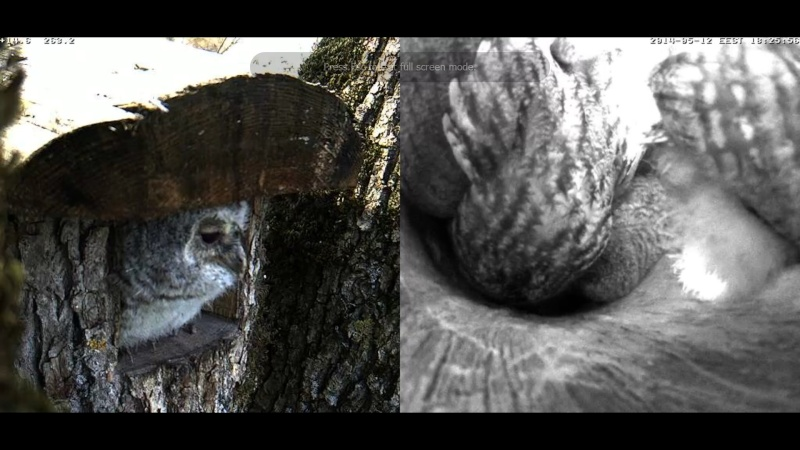 Estonian Tawny Owl Webcam 2014 Chhhia11