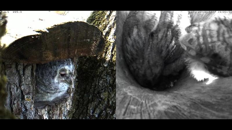 Estonian Tawny Owl Webcam 2014 Chhhia12