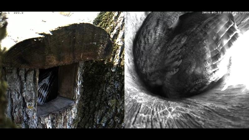Estonian Tawny Owl Webcam 2014 Chhiaa10
