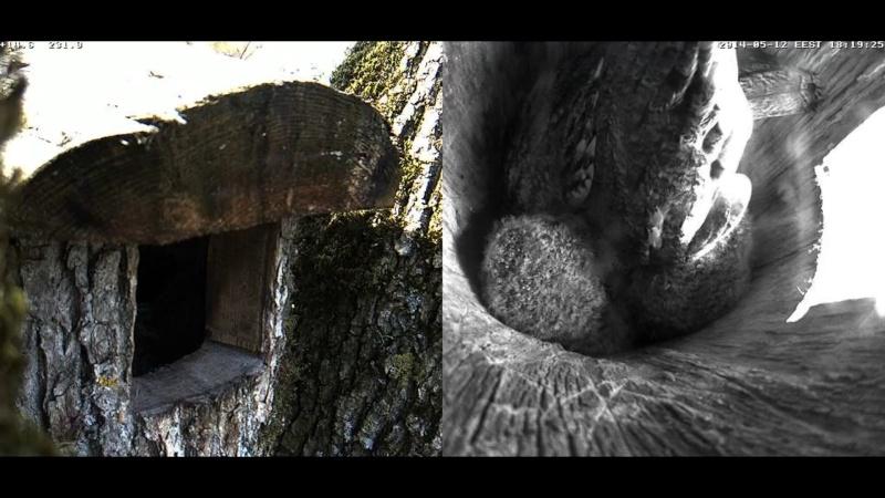 Estonian Tawny Owl Webcam 2014 Chiaaa12
