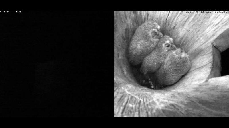 Estonian Tawny Owl Webcam 2014 - Page 38 Cidddd10
