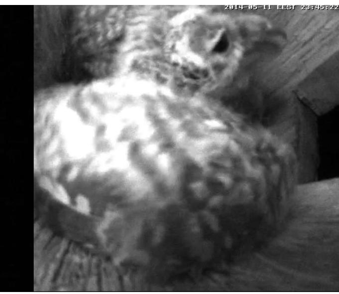 Estonian Tawny Owl Webcam 2014 - Page 38 Ciddee10