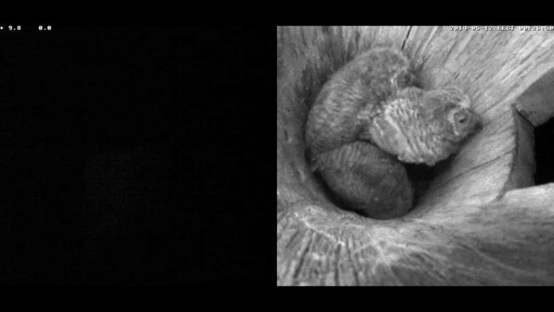 Estonian Tawny Owl Webcam 2014 - Page 38 Cieeee10