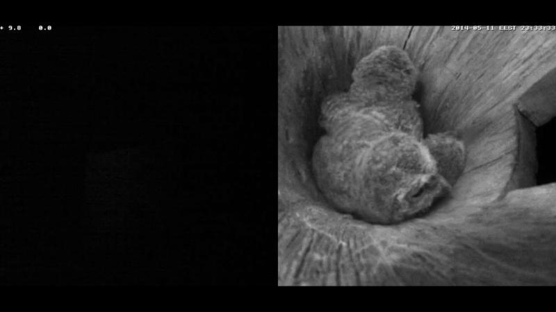 Estonian Tawny Owl Webcam 2014 - Page 38 Cieeef10