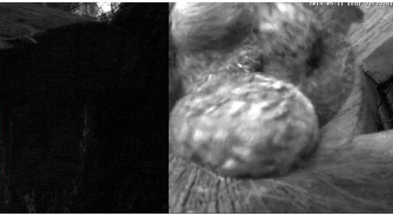 Estonian Tawny Owl Webcam 2014 - Page 38 Cieeff10