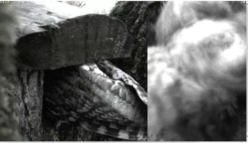 Estonian Tawny Owl Webcam 2014 - Page 38 Ciffgg11