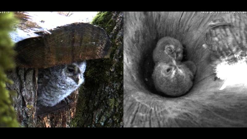Estonian Tawny Owl Webcam 2014 - Page 38 Cigggg10