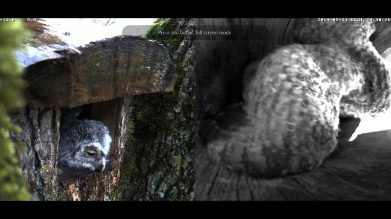 Estonian Tawny Owl Webcam 2014 - Page 38 Cigggh12