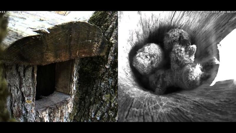 Estonian Tawny Owl Webcam 2014 - Page 38 Cigghh10
