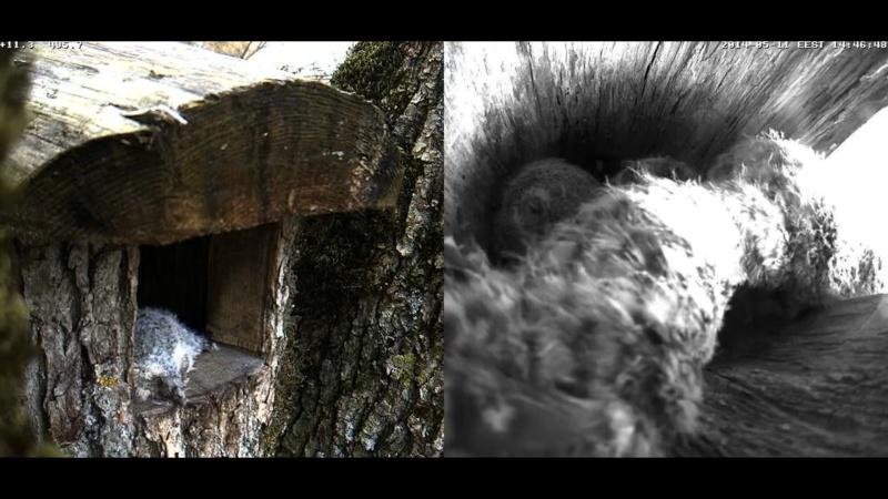 Estonian Tawny Owl Webcam 2014 - Page 38 Cighhh12