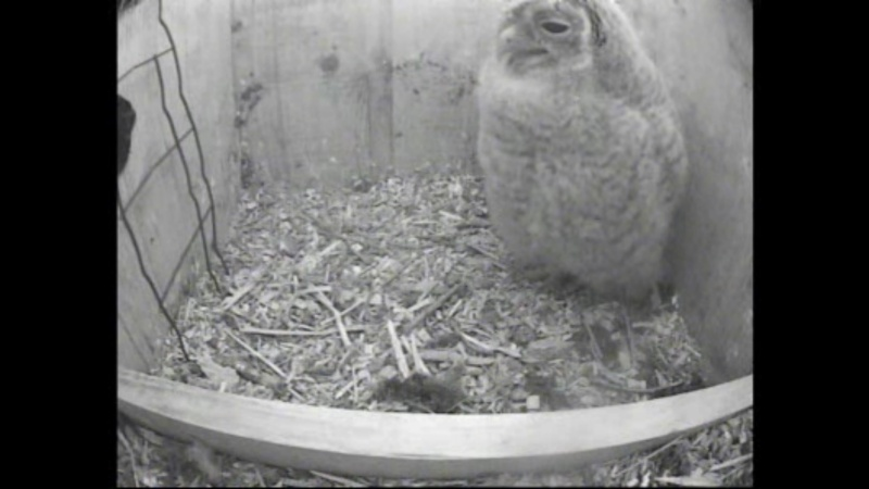 The Dutch Tawny Owl webcam - Page 2 Nffffg11