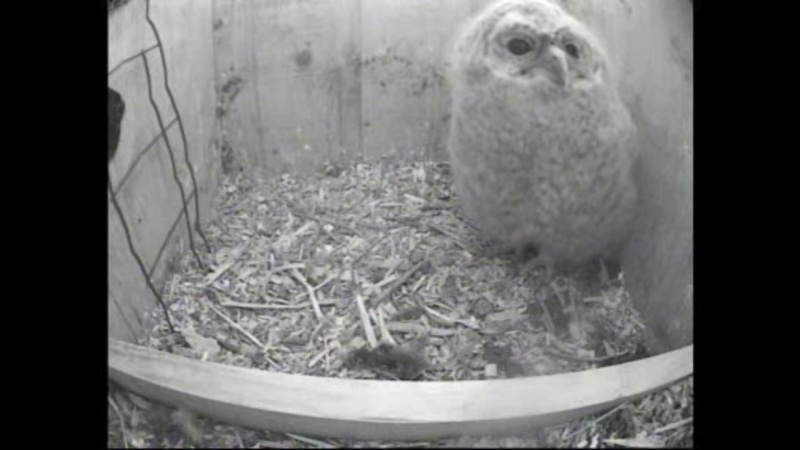 The Dutch Tawny Owl webcam - Page 2 Nffffg12
