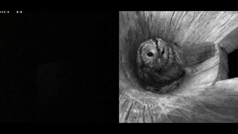 Estonian Tawny Owl Webcam 2014 Nlllll12