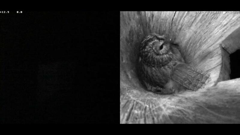 Estonian Tawny Owl Webcam 2014 Nlllll13