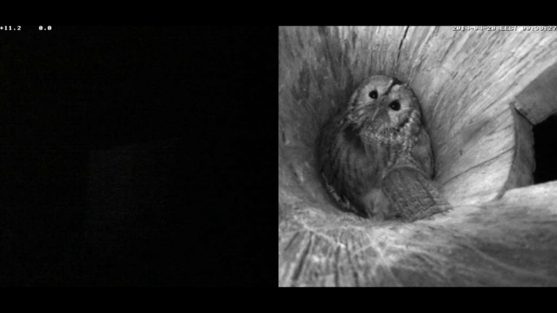 Estonian Tawny Owl Webcam 2014 Nlllll14