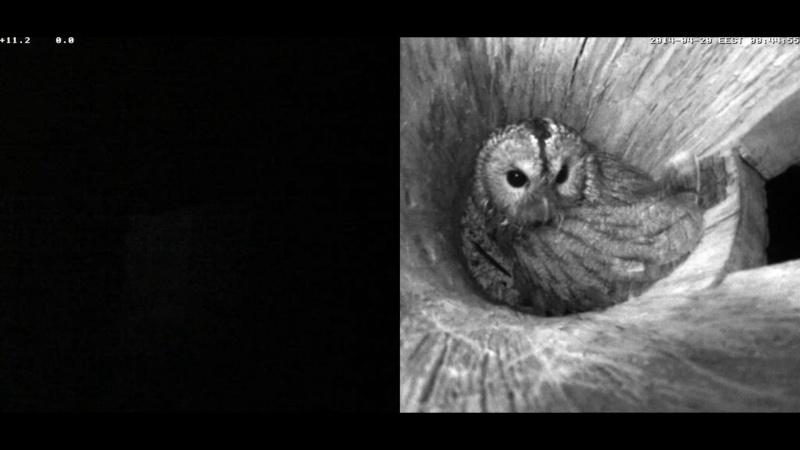Estonian Tawny Owl Webcam 2014 Nlllll16
