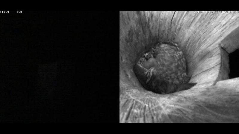 Estonian Tawny Owl Webcam 2014 Nllllm10