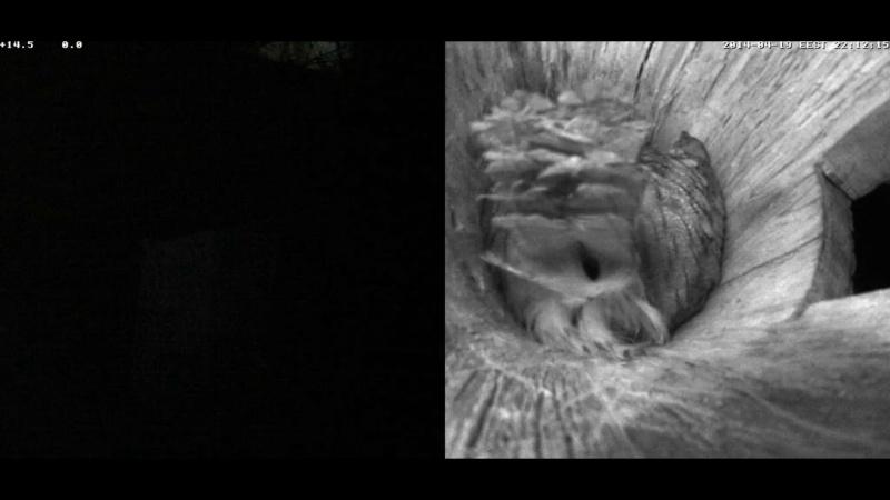 Estonian Tawny Owl Webcam 2014 Nmmmoa10
