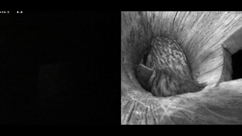 Estonian Tawny Owl Webcam 2014 Nmmmoa11
