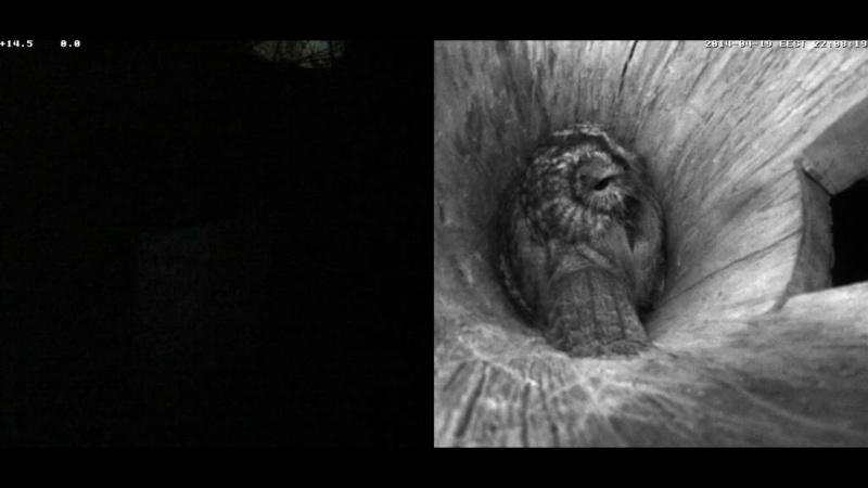 Estonian Tawny Owl Webcam 2014 Nmmoaa13