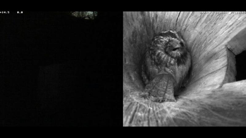 Estonian Tawny Owl Webcam 2014 Nmmoaa14