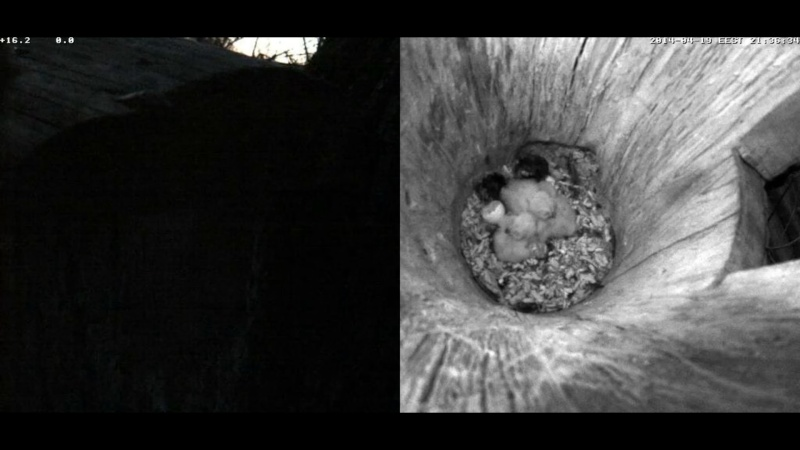 Estonian Tawny Owl Webcam 2014 Noaaaa13