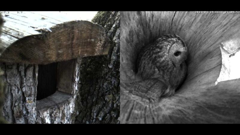 Estonian Tawny Owl Webcam 2014 Oaaaaa17