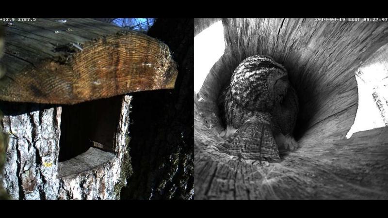 Estonian Tawny Owl Webcam 2014 - Page 40 Oabbbb13
