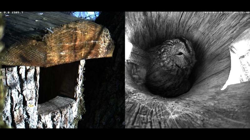 Estonian Tawny Owl Webcam 2014 - Page 39 Obbbbb11