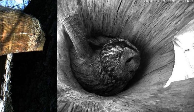 Estonian Tawny Owl Webcam 2014 - Page 40 Obbbbb13