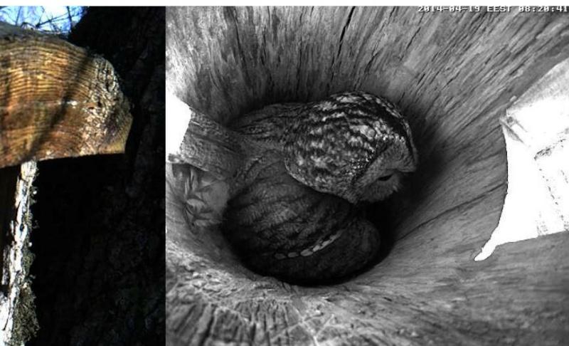 Estonian Tawny Owl Webcam 2014 - Page 40 Obbbbb14