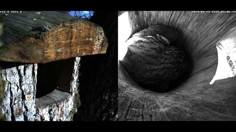 Estonian Tawny Owl Webcam 2014 - Page 40 Obbbbb16