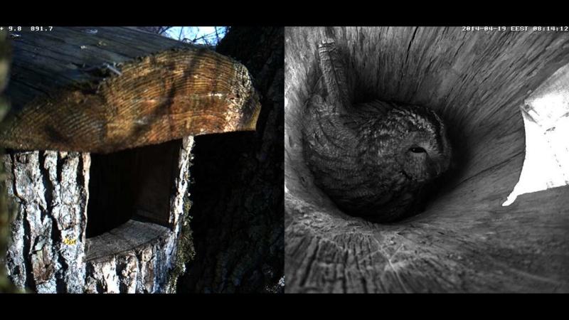 Estonian Tawny Owl Webcam 2014 - Page 39 Obbbcc12