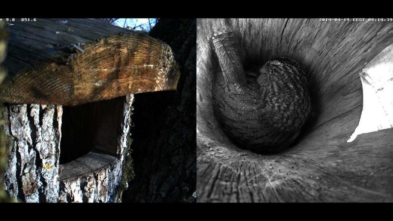 Estonian Tawny Owl Webcam 2014 - Page 39 Obbbcc13