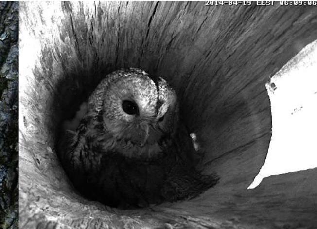 Estonian Tawny Owl Webcam 2014 - Page 39 Obbccc12