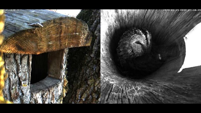 Estonian Tawny Owl Webcam 2014 - Page 39 Obbccc13