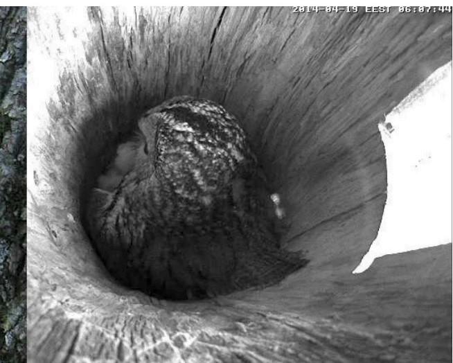 Estonian Tawny Owl Webcam 2014 - Page 39 Obcccc11
