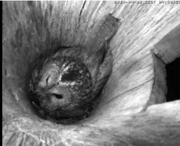 Estonian Tawny Owl Webcam 2014 - Page 39 Occccc11