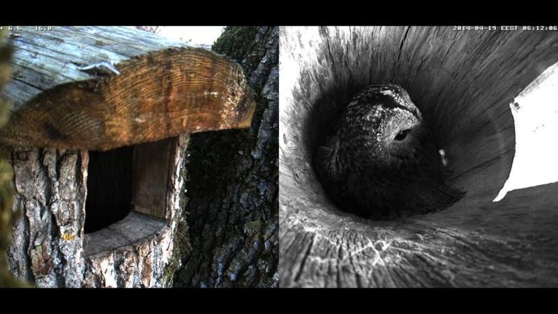 Estonian Tawny Owl Webcam 2014 - Page 39 Occccc13