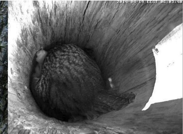 Estonian Tawny Owl Webcam 2014 - Page 39 Occccc16