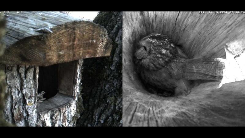 Estonian Tawny Owl Webcam 2014 - Page 39 Occcdd11