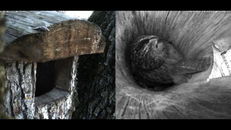 Estonian Tawny Owl Webcam 2014 - Page 39 Occddd13