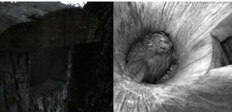 Estonian Tawny Owl Webcam 2014 - Page 2 Oddddd10