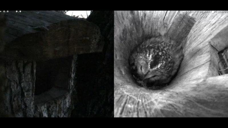 Estonian Tawny Owl Webcam 2014 - Page 39 Oddddd19