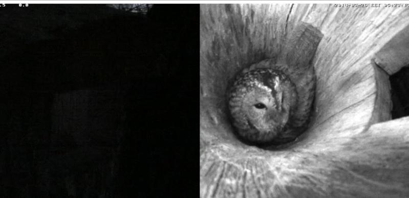 Estonian Tawny Owl Webcam 2014 - Page 2 Odddde10