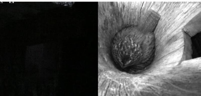 Estonian Tawny Owl Webcam 2014 - Page 2 Odddee11